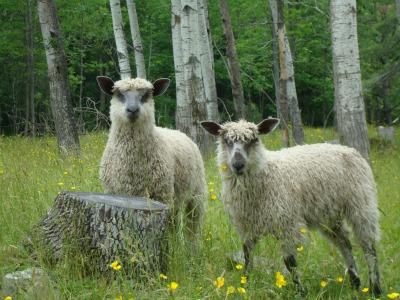 Yellowfarm double sheep closeup