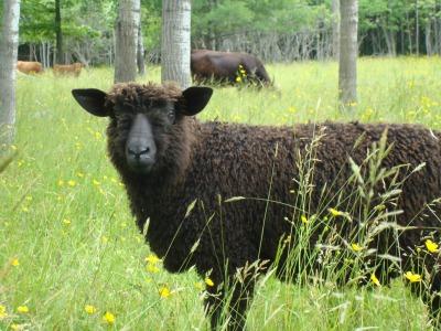 Yellowfarm sheep closeup