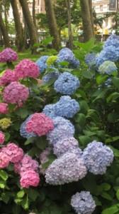 Hydrangea shrubs